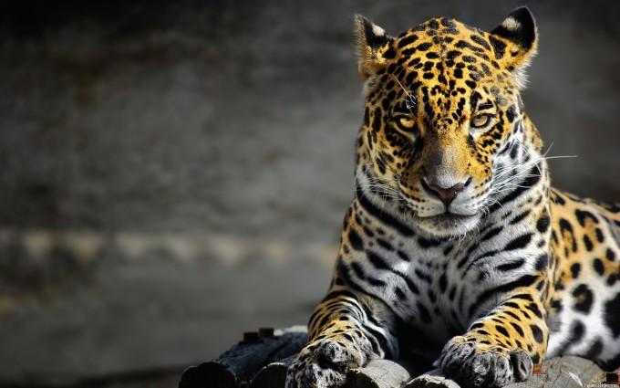 leopard wallpaper pride