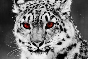 leopard wallpaper red eyes