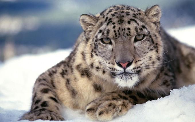 leopard wallpaper snow brown