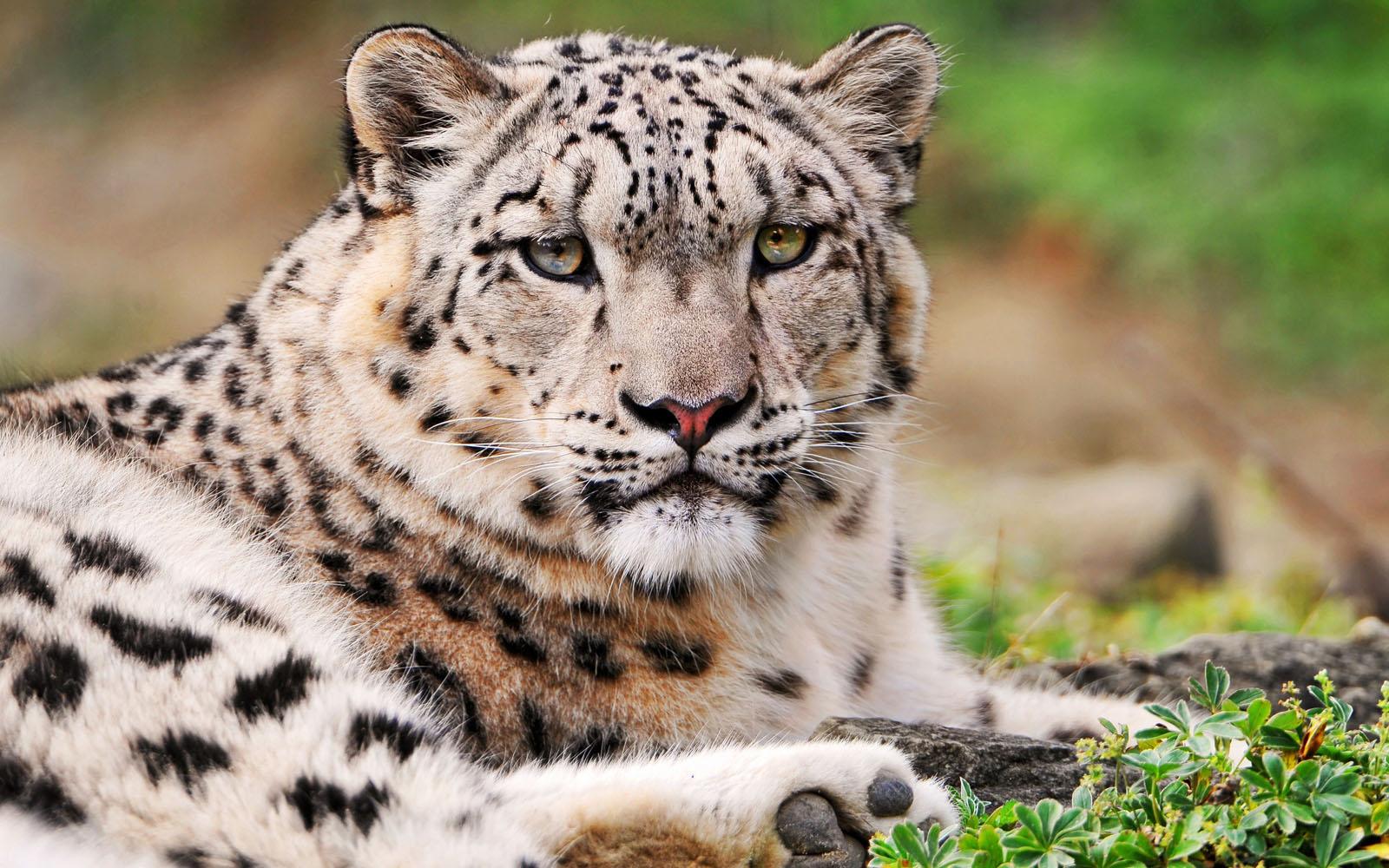 leopard wallpaper snow curious