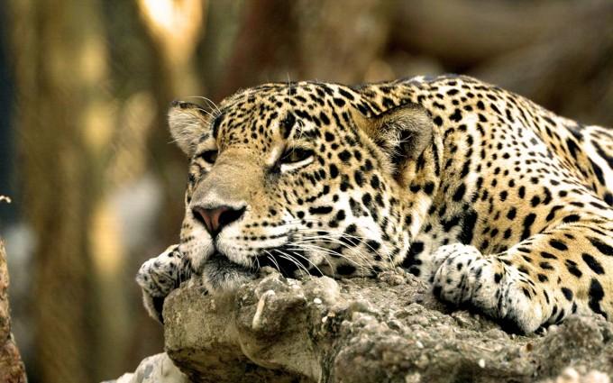 leopard wallpaper sweet
