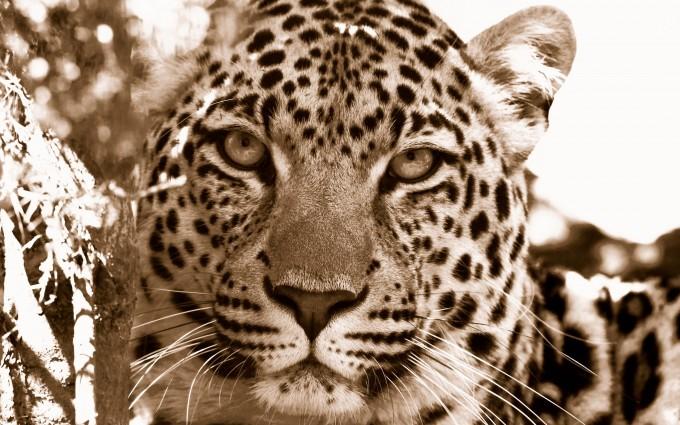 leopard wallpaper vintage