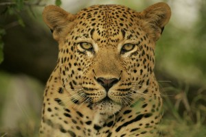 leopard wallpaper wild