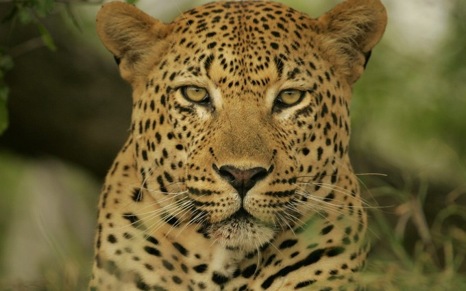 leopard wallpaper wild