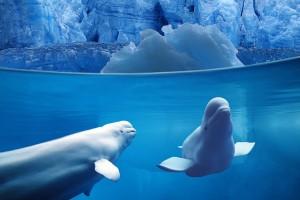 ocean wallpaper belugas