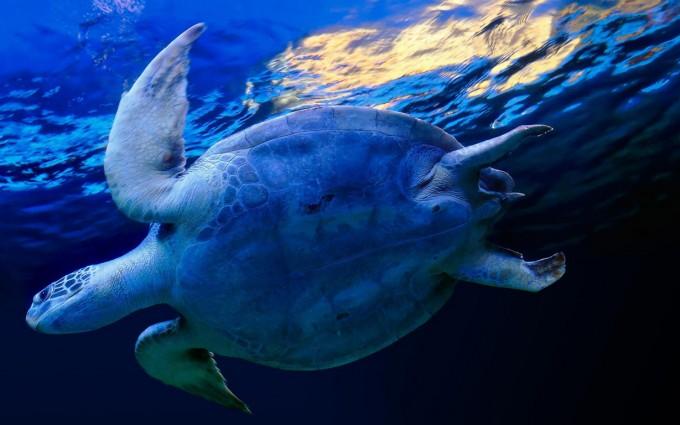 ocean wallpaper turtle
