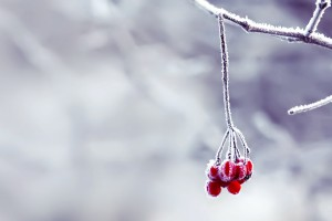snow wallpaper berries