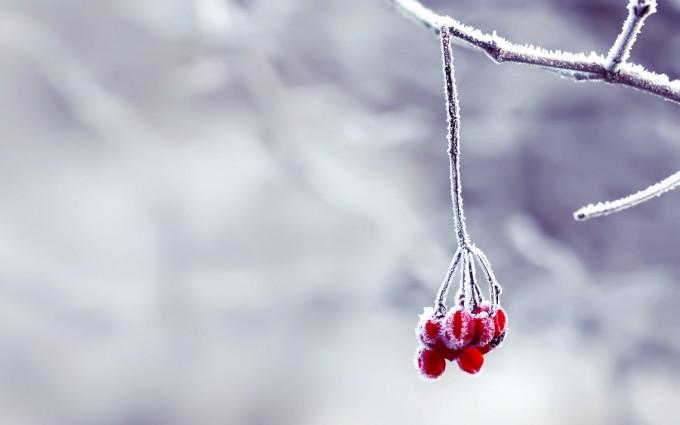 snow wallpaper berries