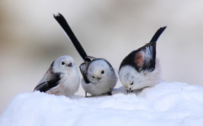 snow wallpaper birds
