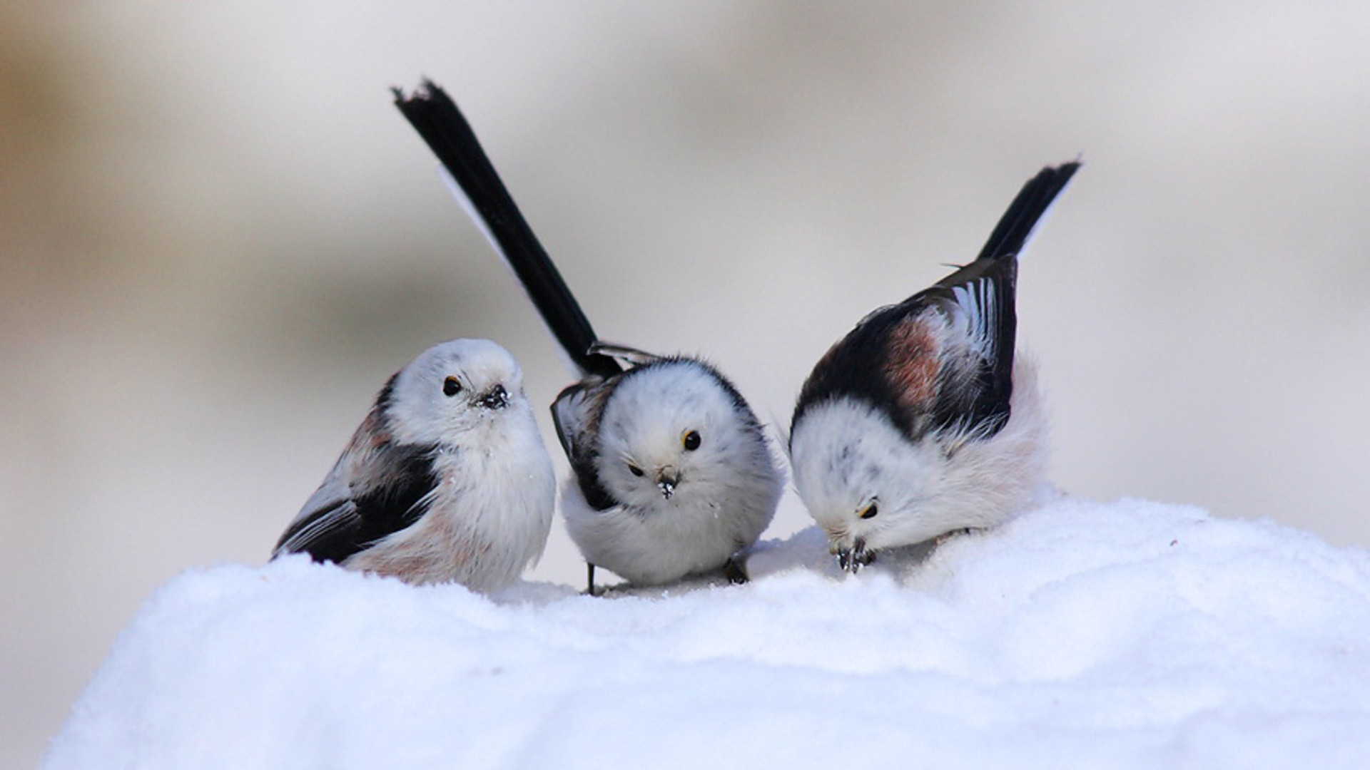 snow wallpaper birds