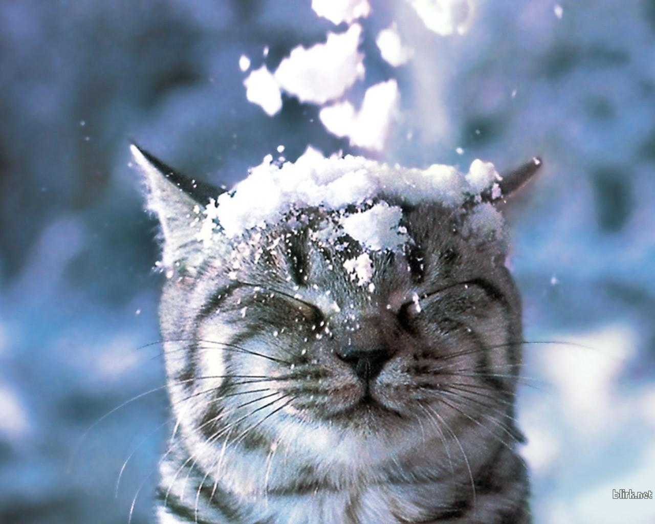 snow wallpaper cat