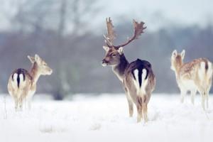 snow wallpaper deer