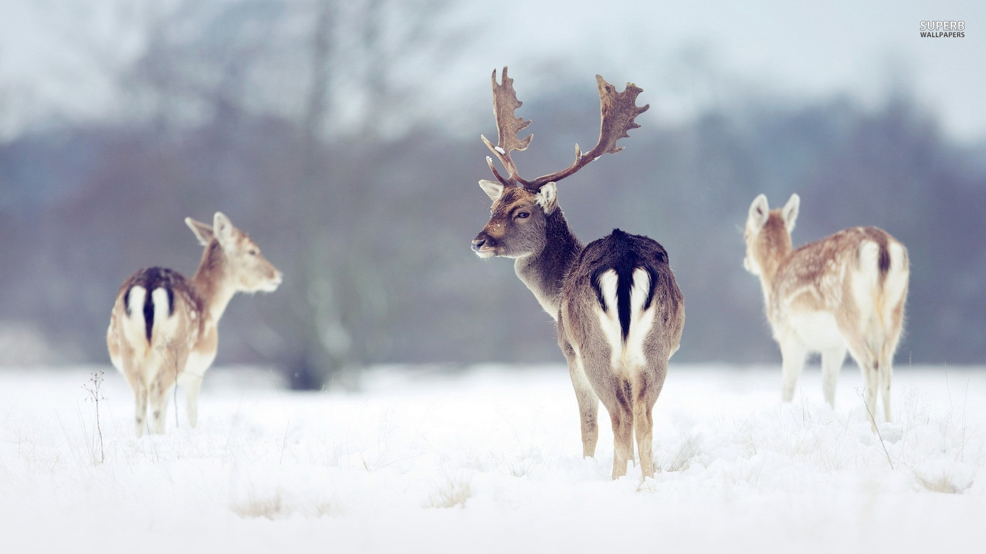 snow wallpaper deer