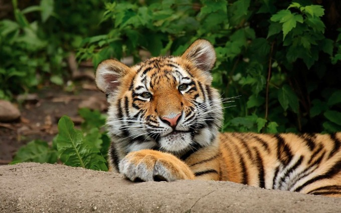 tiger photos HD
