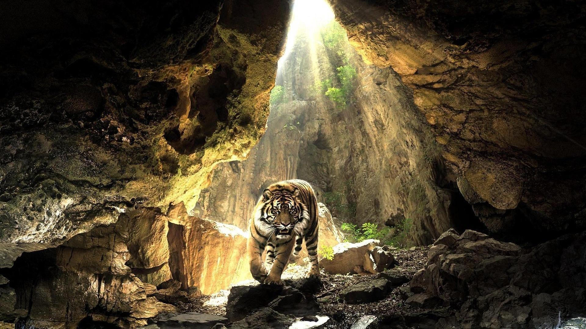 tiger wallpaper africa
