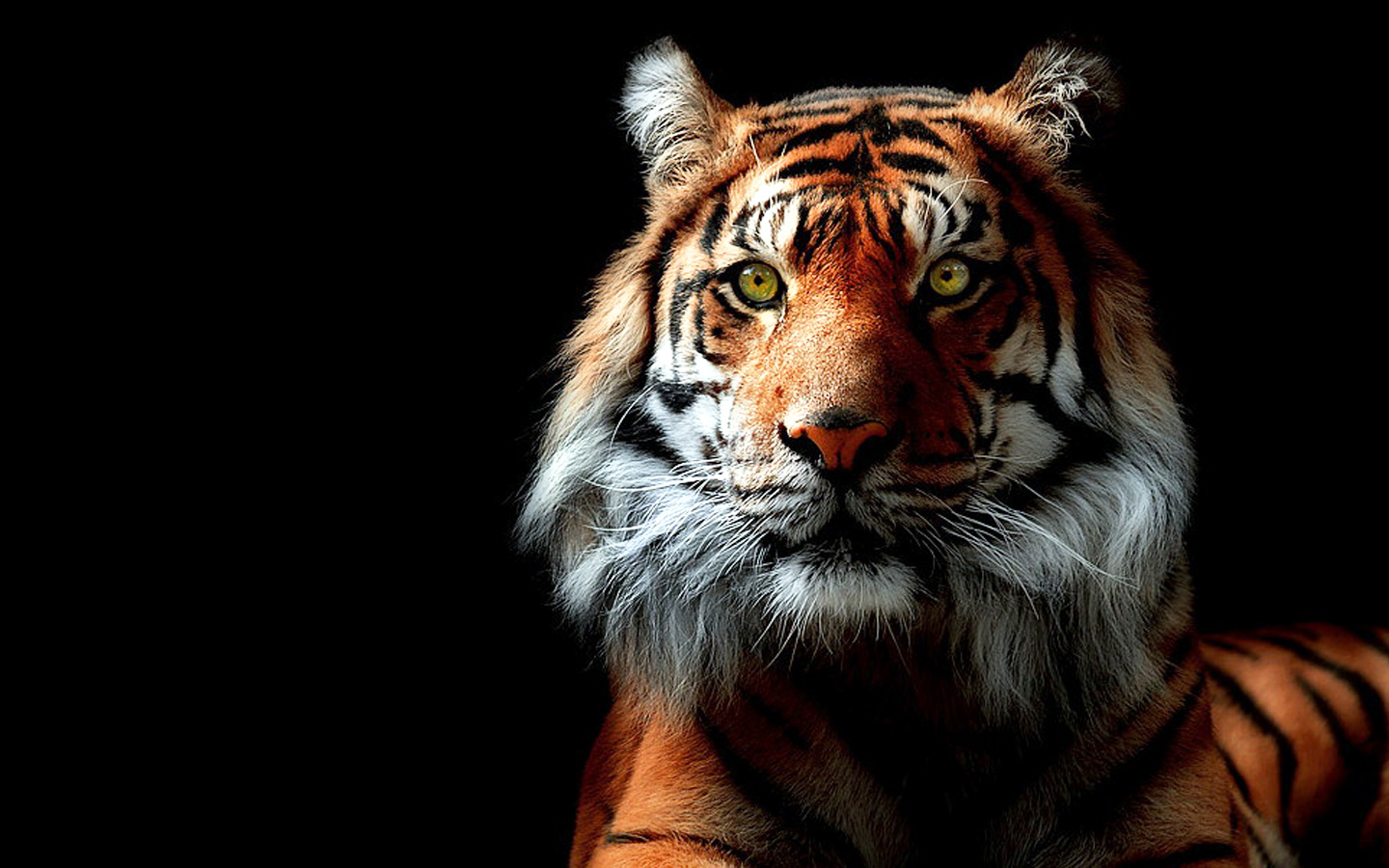 tiger wallpaper animal