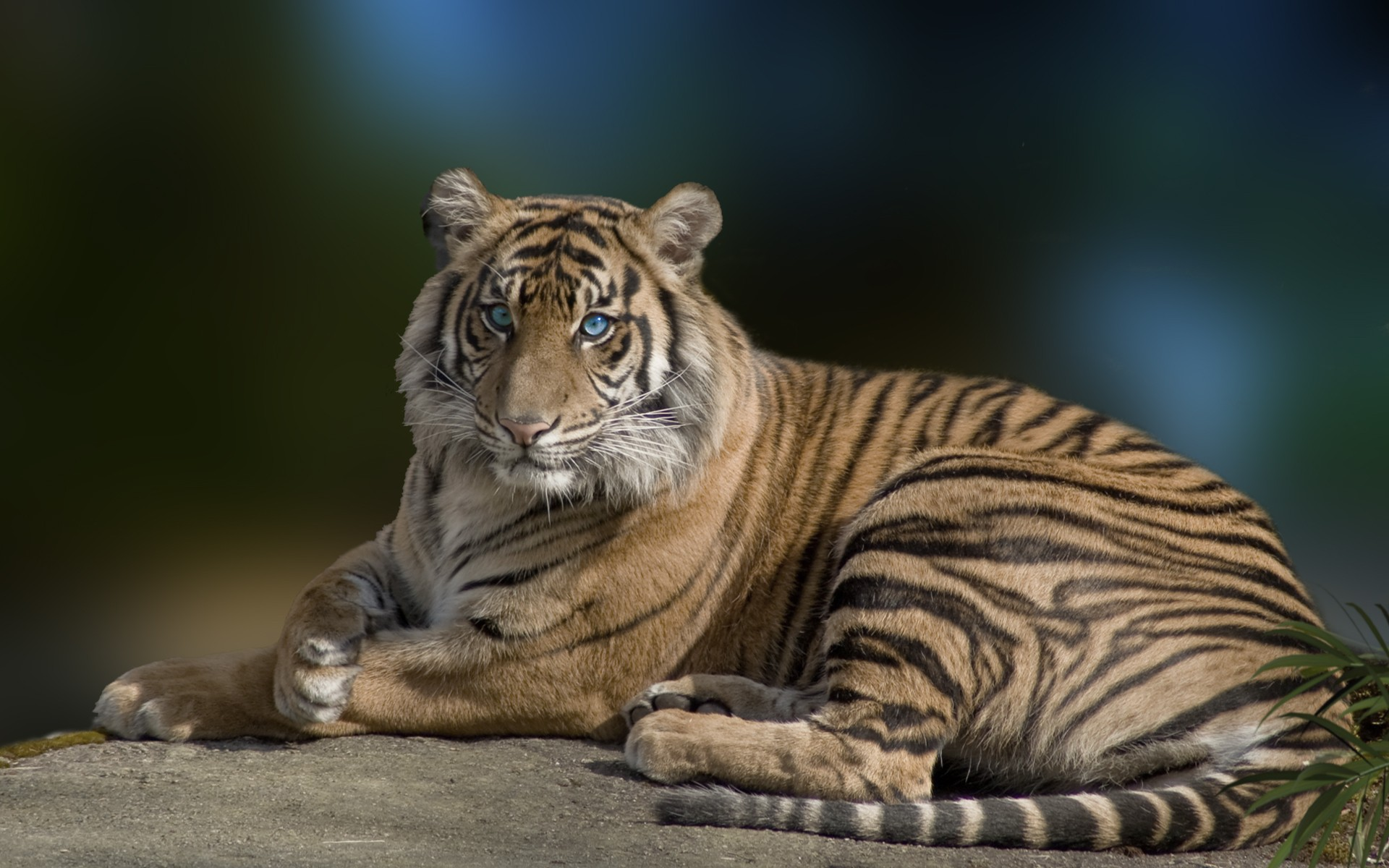 tiger wallpaper blue eyes