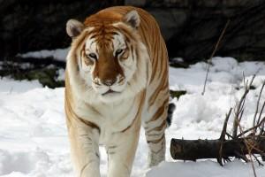 tiger wallpaper brown