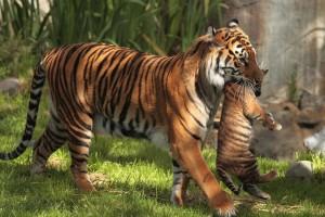 tiger wallpaper cub baby