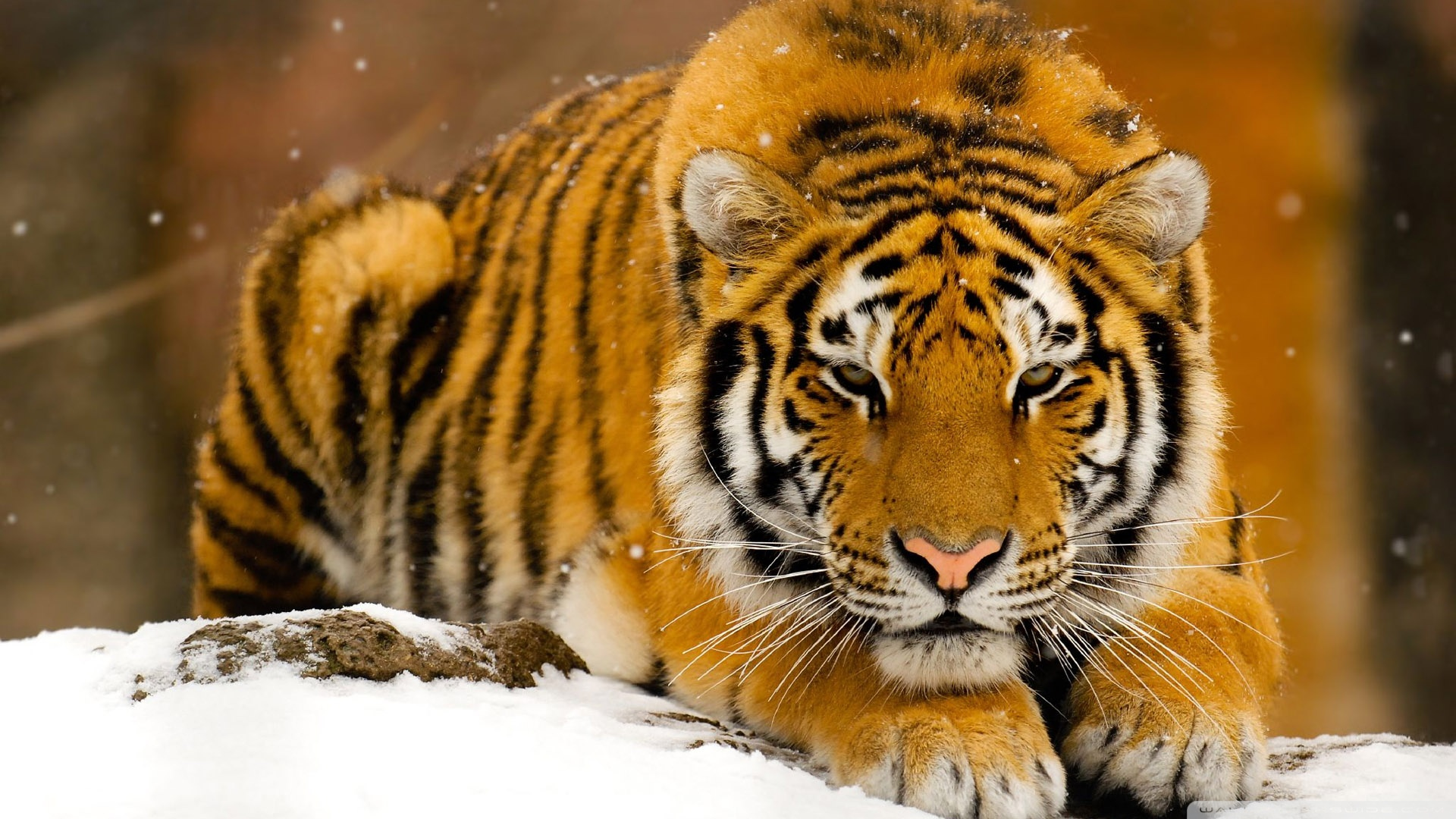 tiger wallpaper desktop HD