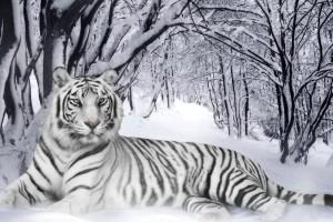 tiger wallpaper elegant white