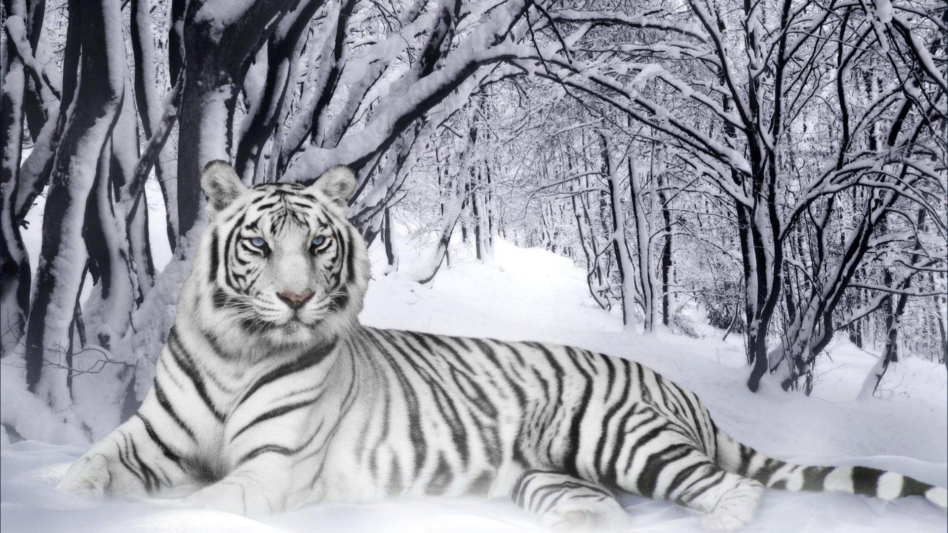 tiger wallpaper elegant white
