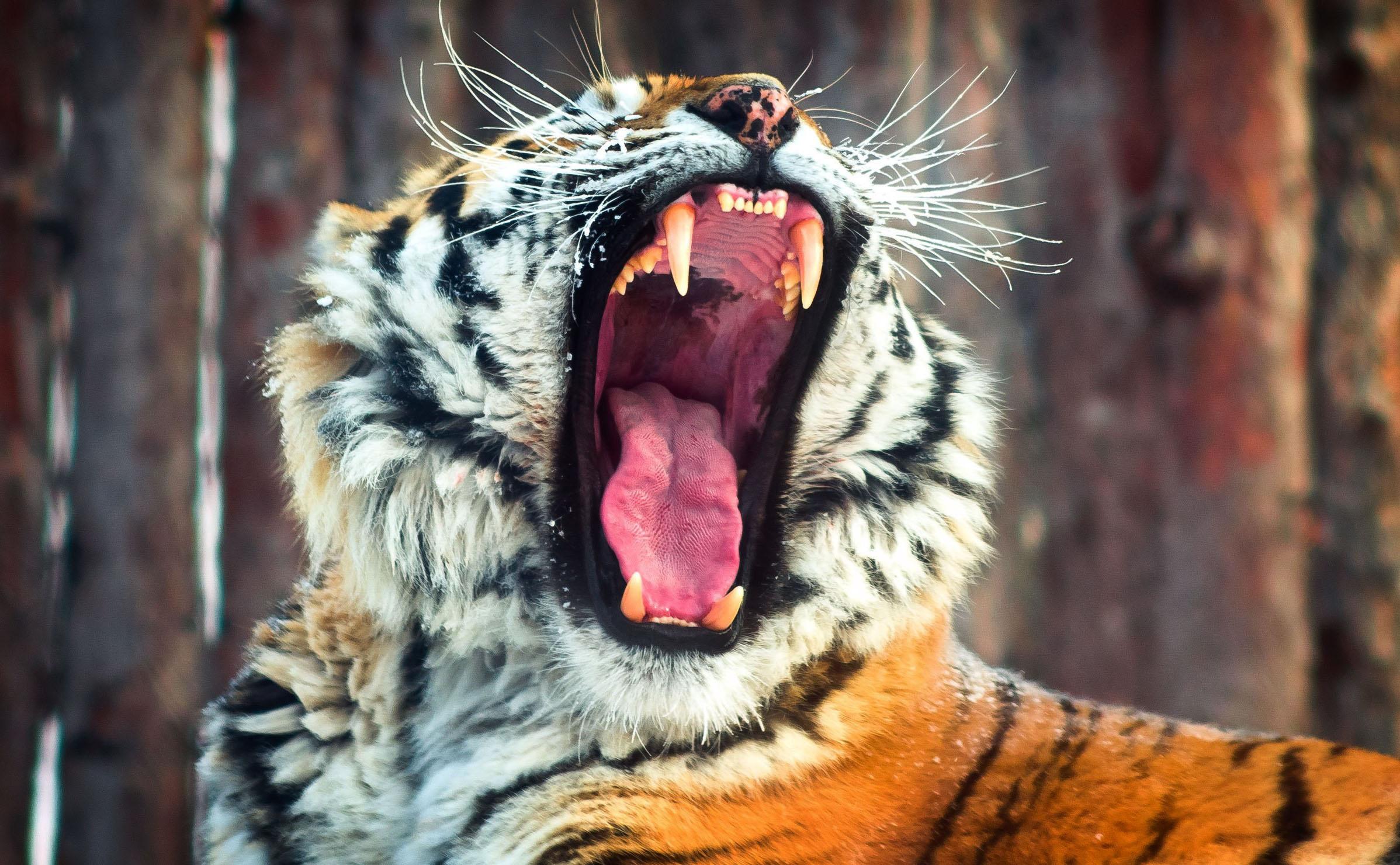 tiger wallpaper graceful