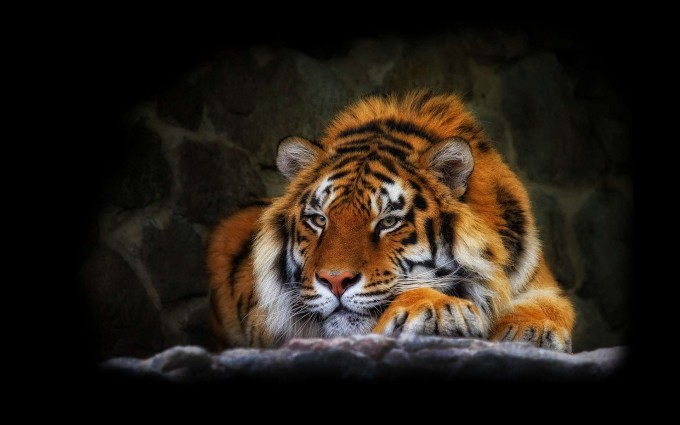 tiger wallpaper hunt mode