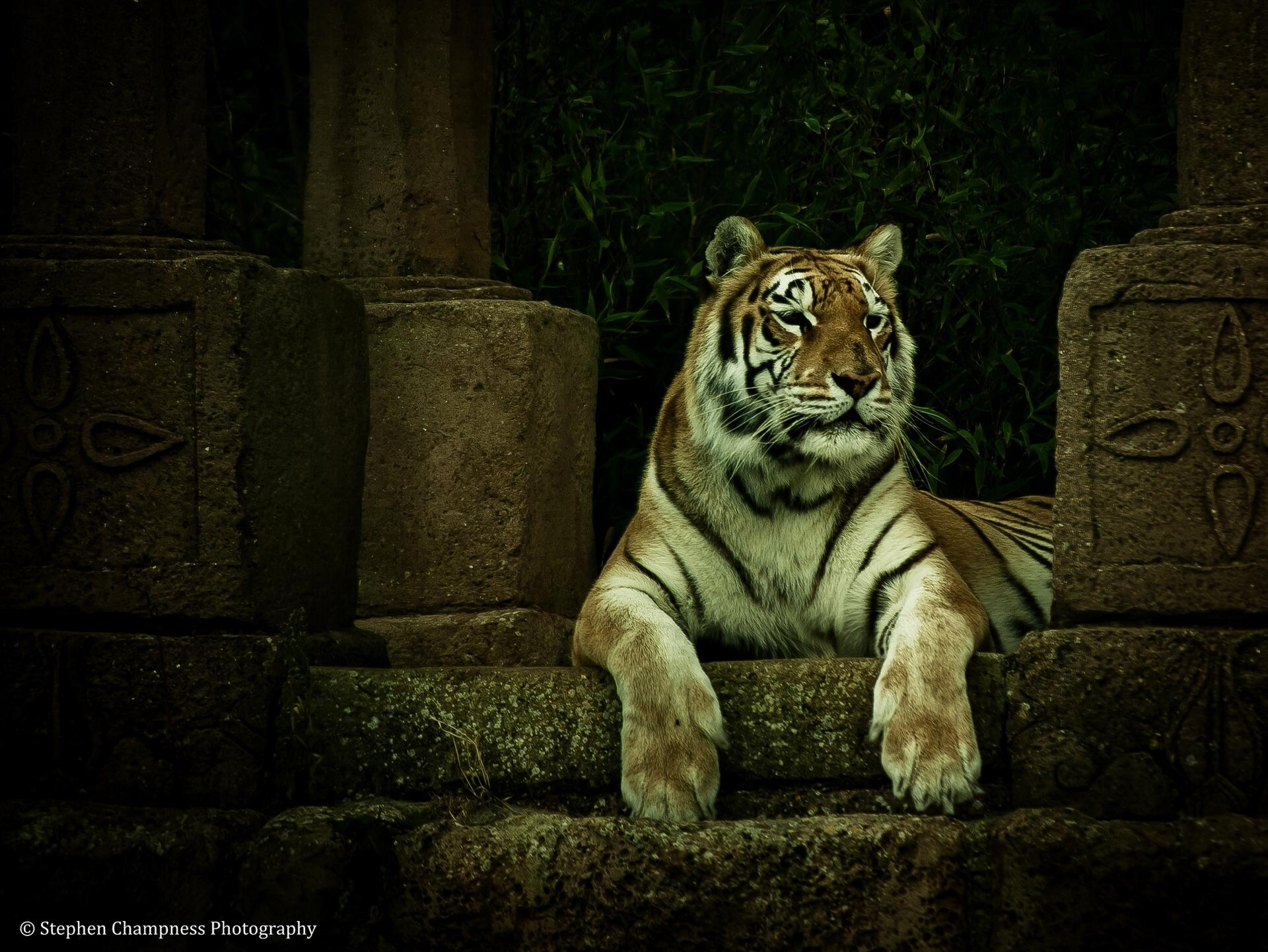 tiger wallpaper legend