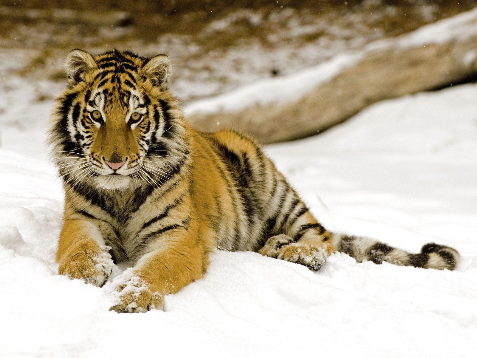 tiger wallpaper magnificent