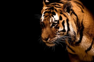 tiger wallpaper marvelous