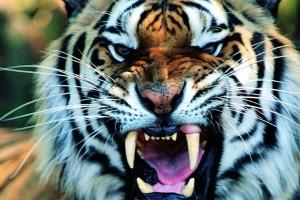 tiger wallpaper ravishing