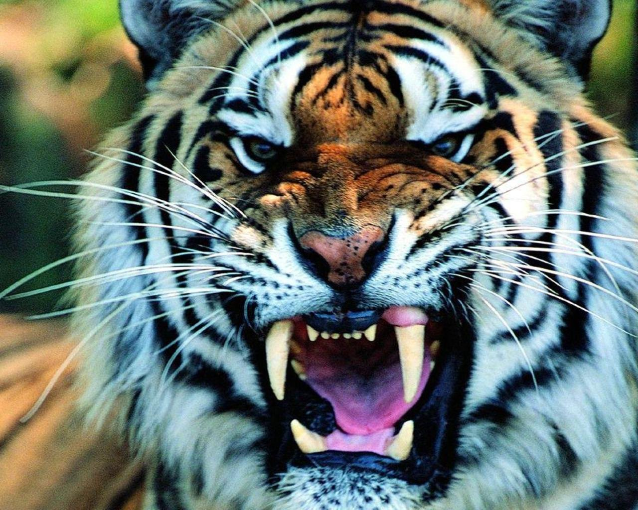 tiger wallpaper ravishing