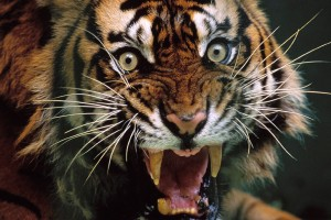 tiger wallpaper scary