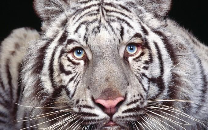 tiger wallpaper simple