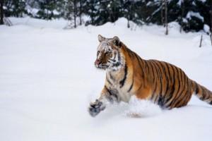 tiger wallpaper snow