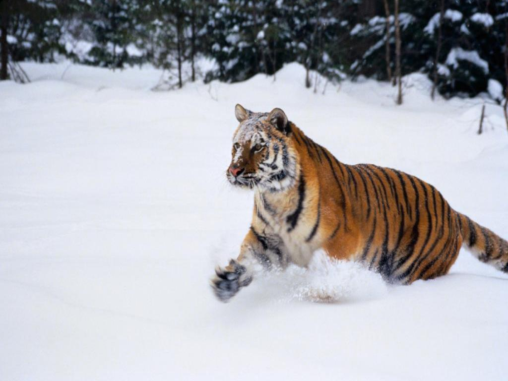 tiger wallpaper snow