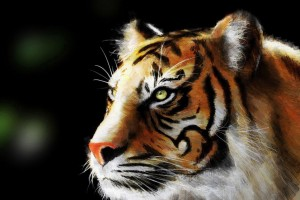 tiger wallpaper splendid