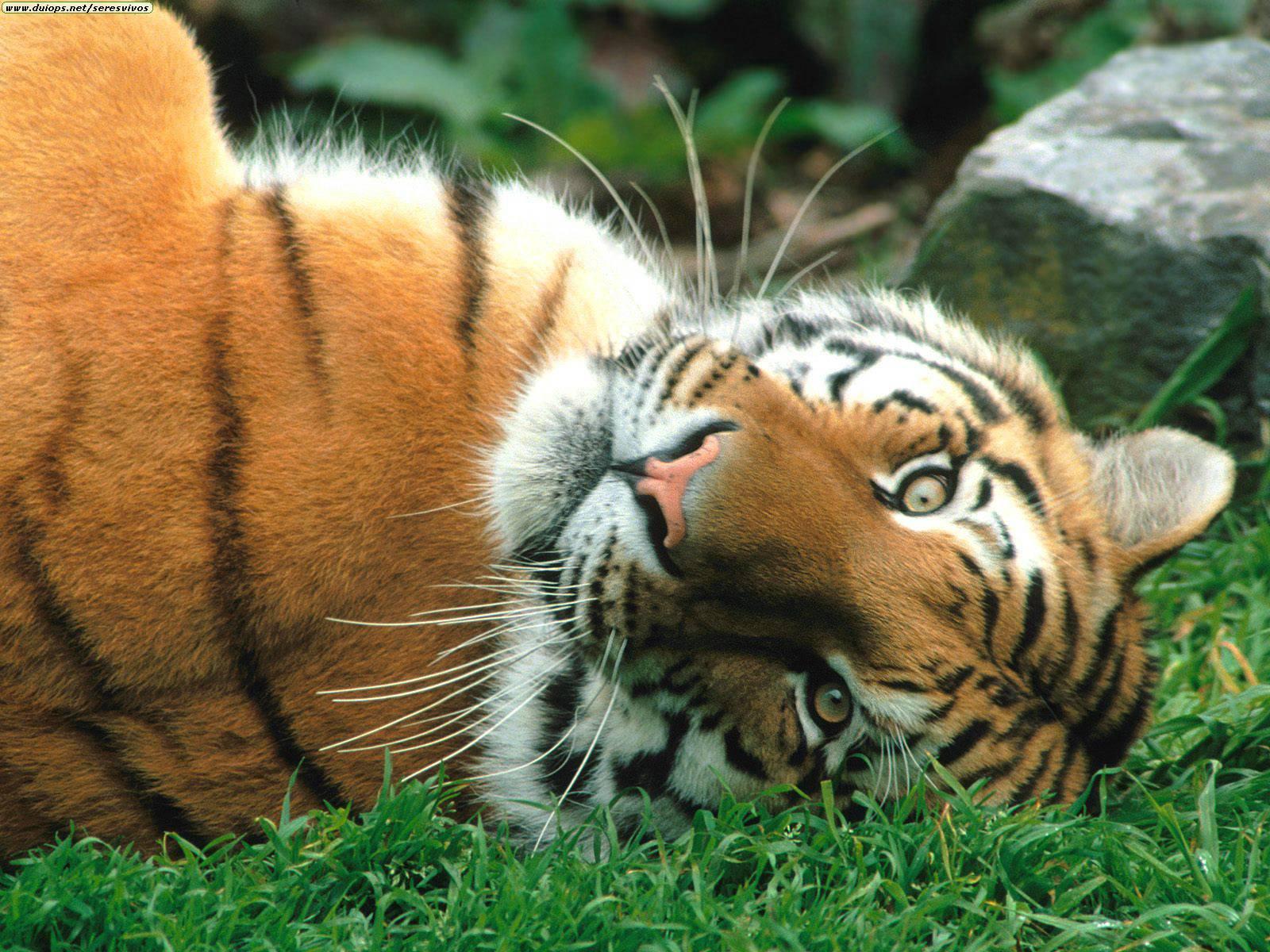 tiger wallpaper stunning