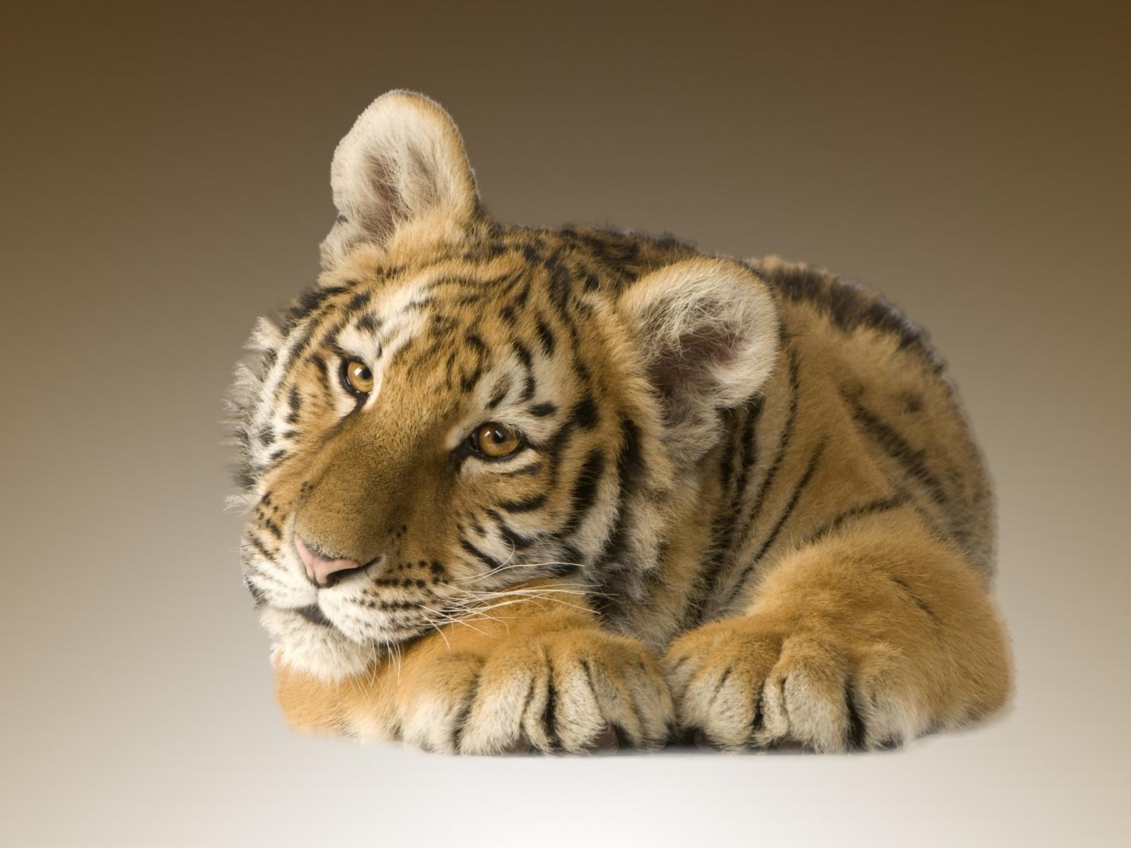 tiger wallpaper sweet HD