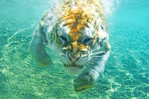tiger wallpaper underwater funny