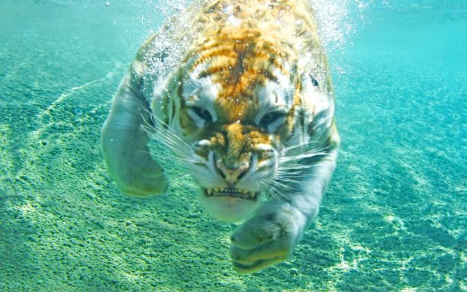 tiger wallpaper underwater funny