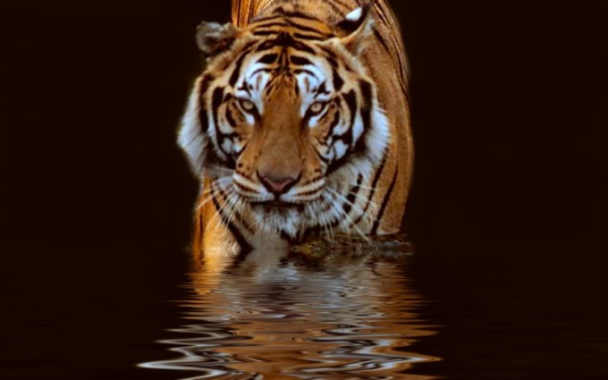 tiger wallpaper water
