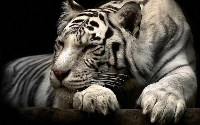tiger wallpaper white
