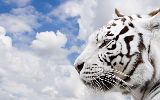 tiger wallpaper white hd