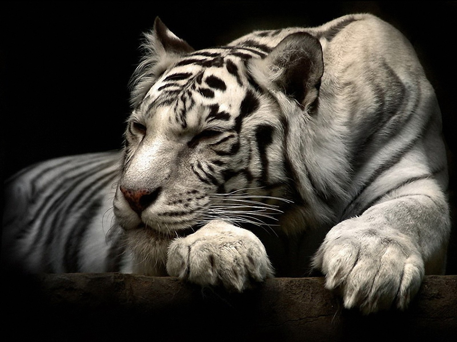 tiger wallpaper white