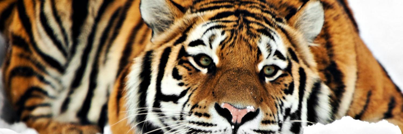 tiger wallpaper widescreen - photo #14