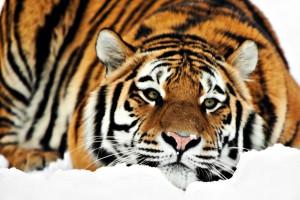 tiger wallpaper widescreen HD