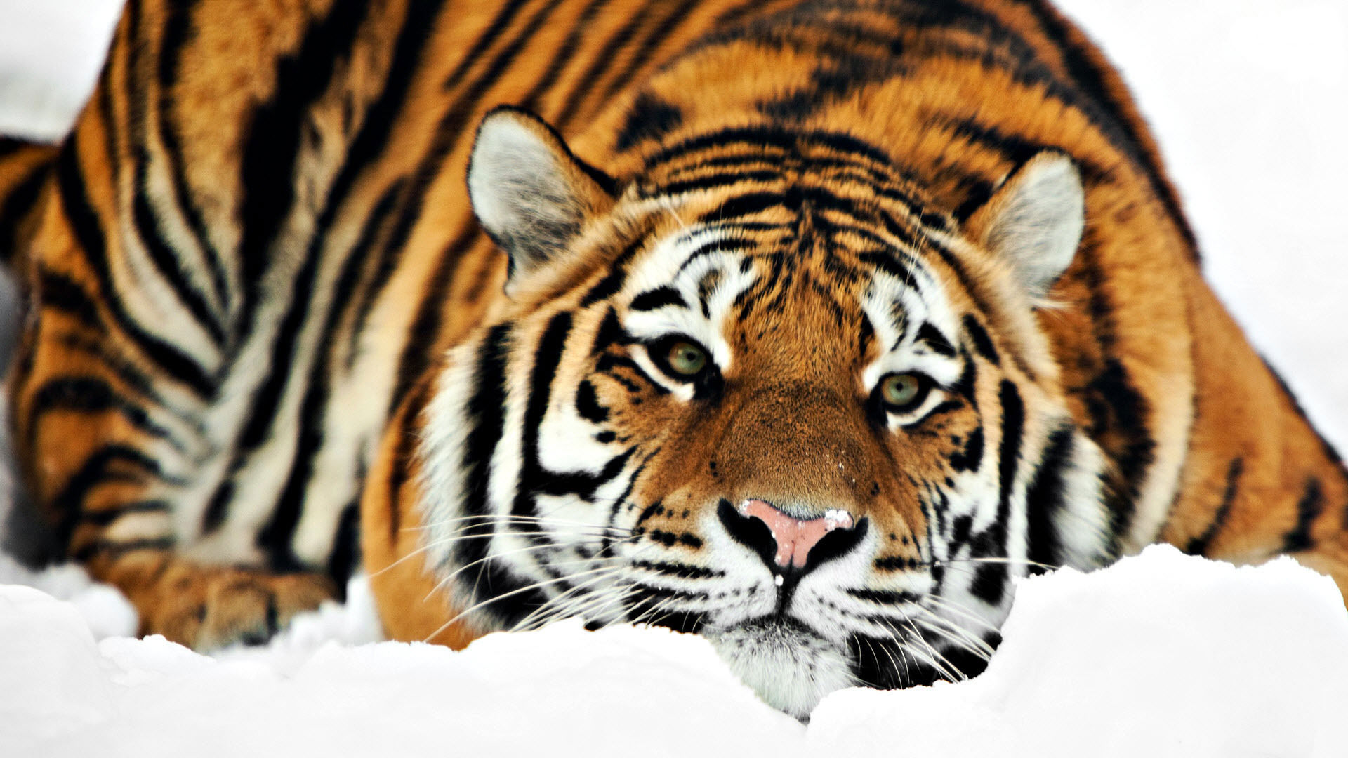 tiger wallpaper widescreen HD