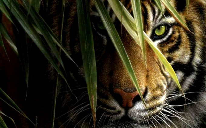 tiger wallpapers HD widescreen